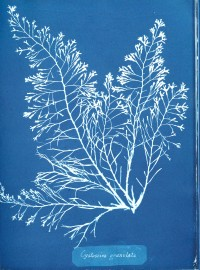 Anna Atkins, Photographs of British Algae, Cyanotype Impressions, 1843-44